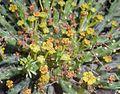 Euphorbia pugniformis 2016-07-19 2692.jpg