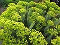 Euphorbia rigida - 02.jpg