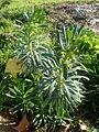 Euphorbia veneta 2c.JPG