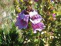 Euphrasia lasianthera.jpg