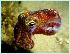 <i>Euprymna scolopes</i> species of mollusc