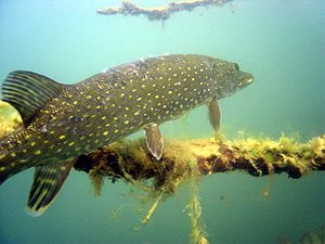 Northern pike - Northern pike in the Straussee at Strausberg