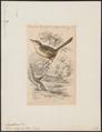 Euscarthmus meloryphus - 1838 - Print - Iconographia Zoologica - Special Collections University of Amsterdam - UBA01 IZ16500285.tif