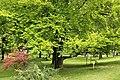 Evropska bukva, Fagus syilvatica L 01.jpg