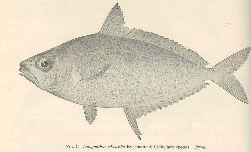 File:FMIB 39231 Leiognathus edwardsi Evermann & Seale, new species Type.jpeg