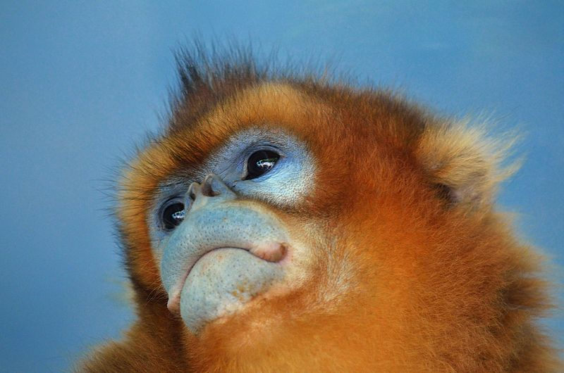 File:Face of a golden snub-nosed monkey.jpg