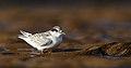 Fairy Tern juvenile (Sternula nereis).jpg