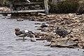 Falkland Steamer-Duck (4302366819).jpg
