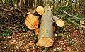Felled trees near Helen's Bay - geograph.org.uk - 768522.jpg