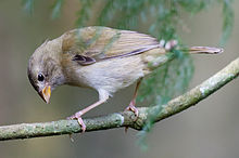 Female-yellow-faced-grassquit-in-tree.jpg