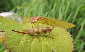 Female long winged conehead (Conocephalus discolor), Cople, Bedfordshire (15040866227).jpg