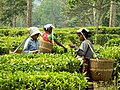 Female workers at a tea Garden of Assam.jpg