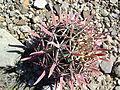 Ferocactus recurvus (5753806819).jpg