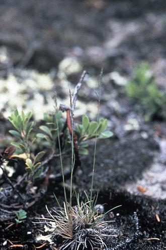 Festuca brachyphylla - Image: Festuca brachyphylla WPC