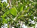 Ficus cotinifolia 572185.jpg