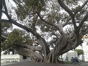 Town hall of Bordighera - Image: Ficus macrophylla, dietro al Municipio di Bordighera