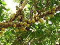 Ficus sansibarica, met vye, Olifants, a.jpg