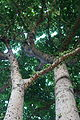Ficus variegata var. chlorocarpa.jpg