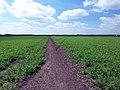 Field of Peas - geograph.org.uk - 181410.jpg