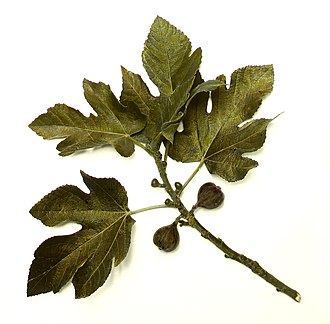 Figs in the Bible - Common fig branch, showing leaves and fruit in various stages