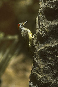 Fine-spotted Woodpecker - Gambia Image17 (16410488915).jpg