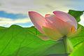 Fiore di Loto (208836246).jpg
