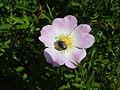 Fiore rosa canina.jpg