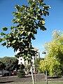 Firmiana simplex Habitus 2010-10-26 ArboretoParqueElPilarCiudadReal.jpg