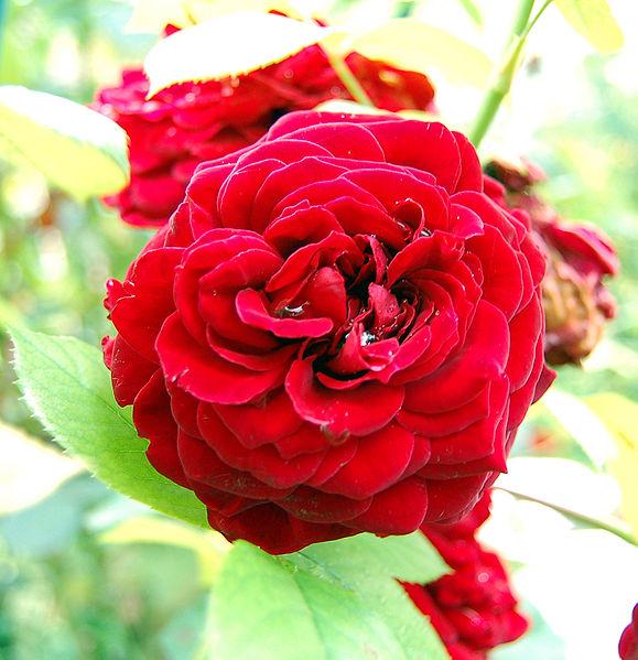 File:Fleur Rose.jpg
