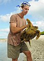 Flickr - Official U.S. Navy Imagery - An officer captures a turtle for tagging..jpg