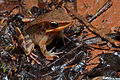 Flickr - ggallice - Litter frog.jpg