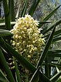 Flora of Tanzania 5126 Nevit.jpg