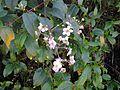 Flores de Rubus glaucus.jpg