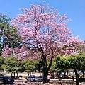 Flores de ipê-roxo em Coronel Fabriciano MG.JPG