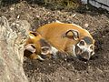 Flossschwäin Potamochoerus porcus.JPG
