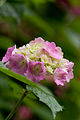 "Flower, Hydrangea ""Europe"" - Flickr - nekonomania (1).jpg"