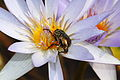 Flower chafer on Nymphaea nouchali (Yumenoshima Tropical Greenhouse Dome, Tokyo) (6049615660).jpg