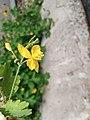Flower yelloww.jpg