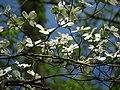 Flowering Dogwood (48343588826).jpg