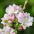 Flowers of Malus domestica (24).jpg