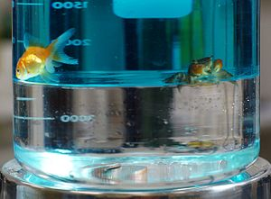 Fluorine - Immiscible layers of colored water (top) and much denser perfluoroheptane (bottom) in a beaker; a goldfish and crab cannot penetrate the boundary; quarters rest at the bottom.