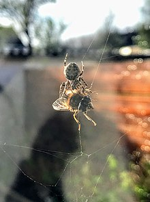 220px Fly_captured_by_spider_in_web spider wikipedia