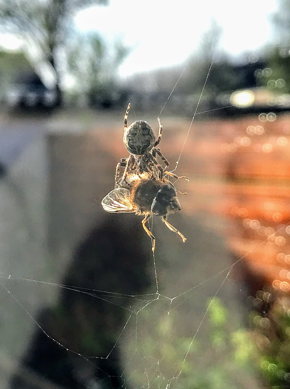 Fly captured by spider in web