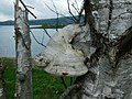 Fomitopsis betulina.jpg