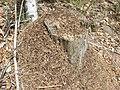 Fourmilière et fourmis (Formicinae).jpg