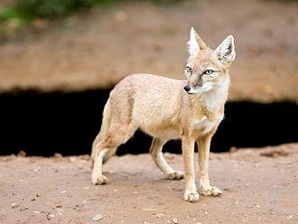 Corsac fox - Corsac fox in its summer coat