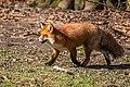 Fox (27808678384).jpg