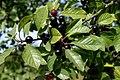 Frangula-alnus-fruits.JPG