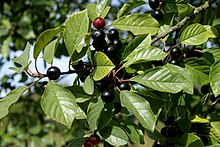 Frangula-alnus-fruits.JPG