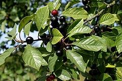 240px frangula alnus fruits